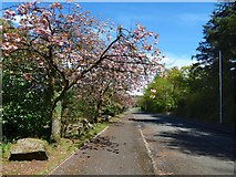 NS3977 : Vale of Leven Industrial Estate: cherry blossom by Lairich Rig