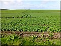 SW3931 : Potato Field by Rude Health