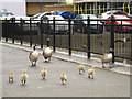 TQ3880 : Inquisitive goslings by Stephen Craven