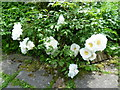 TQ7942 : Roses in the garden at Iden Croft Herbs by Marathon