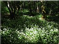 TQ3431 : Wild Garlic near Cob Brook by Simon Carey