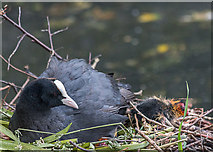 TQ3296 : Young Coot, New River Loop, Church Street, Enfield by Christine Matthews