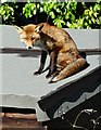 SK3284 : Fox on a Hot Shed Roof - Number 3 by Neil Theasby
