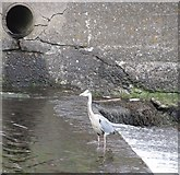 J3731 : Heron at the weir on the Shimna below the Castle Bridge by Eric Jones