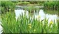 J3773 : Flag iris, Orangefield Park, Belfast (May 2015) by Albert Bridge