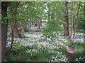 SE1149 : Wild garlic by John Illingworth