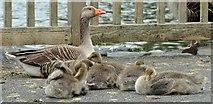 J4774 : Goose and goslings, Kiltonga, Newtownards - June 2015(1) by Albert Bridge
