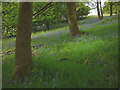 SD6190 : Bluebells in Cowby Wood, Lunesdale by Karl and Ali