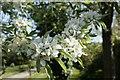 SU2598 : Apple Blossom by Bill Nicholls