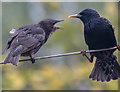 TQ2995 : Starling Feeding Juvenile, London N14 by Christine Matthews
