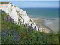 TV5895 : Viper's bugloss on the cliff top near Beachy Head by Marathon