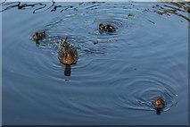 TQ3296 : Mallard Duck with Ducklings, New River Loop, Enfield by Christine Matthews