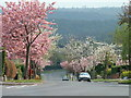 SK3283 : Cherry Blossom on Silverdale Road by Andrew Tryon