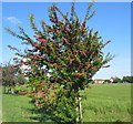 SP3178 : Midland red hawthorn by E Gammie