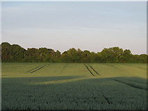 TL9030 : Wheat field, Wakes Colne by Roger Jones