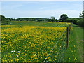 TM3971 : Buttercups by Keith Evans