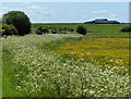 SP4930 : Cow parsley and buttercups by Mat Fascione