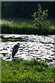 SJ5888 : Grey Heron and Swans, Sankey Valley Park, Warrington by Matt Harrop