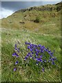 NS4377 : Mountain Pansy at Roundwood Hill by Lairich Rig