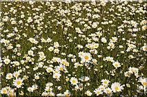 SO8843 : Ox-eye daisies by Philip Halling