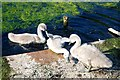SJ5887 : Cygnet struggles, Sankey Canal, Warrington by Matt Harrop