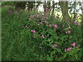 NT9166 : Red Campion beside the Creel Path by Graham Robson