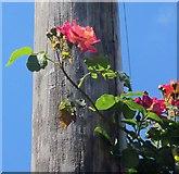 SX9065 : Roses, Torre by Derek Harper