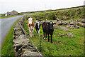 SE1503 : Calves near Harden by Bill Boaden