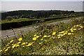 SJ0551 : Roadside dandelions by Philip Halling