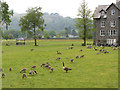 NY3406 : Geese and goslings in Grasmere by Gareth James