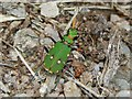 NS3778 : Green Tiger Beetle by Lairich Rig