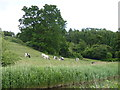 SO8660 : Cows grazing next to Droitwich Barge Canal by Jeff Gogarty