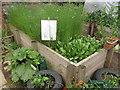 TQ3082 : Flax and woad, Calthorpe Community Garden by David Hawgood