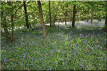 SK2468 : Bluebells in Calton Plantations by Bill Boaden