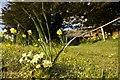 SO1953 : Primrose & Daffodils by Bill Nicholls
