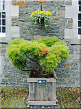 NT4227 : Bonsai Weymouth Pine, Tree Trail, Bowhill by Julian Paren