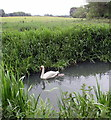 SP4417 : Swan and cygnet on the River Glyme, Woodstock Watermeadows by Jaggery