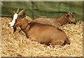 SJ7177 : Champion Goats 1 by Anthony O'Neil