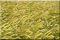 SO8741 : Barley ears by Philip Halling