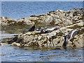 NM6285 : Seals on Sgeir Mhurchaidh by Oliver Dixon