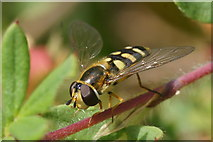 SJ3999 : The hoverfly Eupeodes luniger, Melling by Mike Pennington