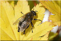 SJ3999 : The hoverfly Merodon equestris, Melling by Mike Pennington