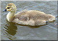 SK2221 : Canada Goose gosling on the Trent & Mersey Canal by Mat Fascione