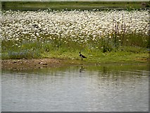 SD5830 : Brockholes Nature Reserve, The Island in Meadow Lake by David Dixon