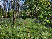 NS3977 : Woodland path and bluebells by Lairich Rig