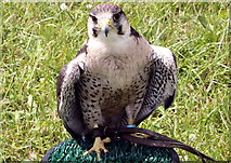 SJ7177 : Hawk at the Cheshire Show by Jeff Buck