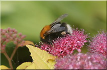 SJ3999 : Tree Bumblebee (Bombus hypnorum), Melling by Mike Pennington
