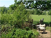SK2947 : Sheep on the wrong side of the footpath stile by Christine Johnstone