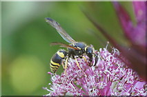 SJ3999 : A parasitoid wasp, Melling by Mike Pennington