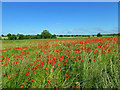 SE4105 : Poppies in the newly created Houghton washland for the River Dearne by Steve  Fareham